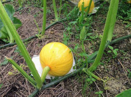 トレイを敷いたかぼちゃの畑
